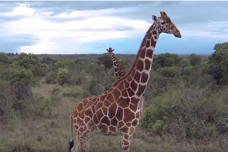 アフリカのサバンナに生きる野生動物たちをドローンで撮影